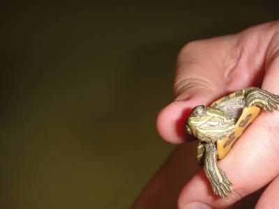 Черепаха красноухая не открывает глаза что делать. почему красноухая черепаха не открывает глаза? лечение в домашних условиях