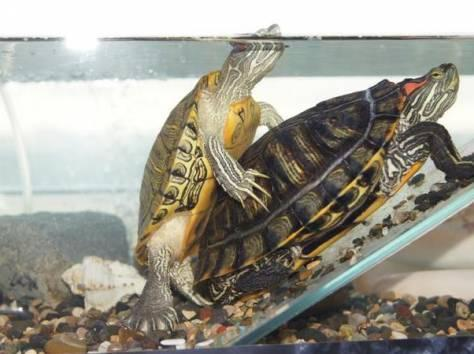 Как правильно определить пол красноухой черепахи маленькой или большой