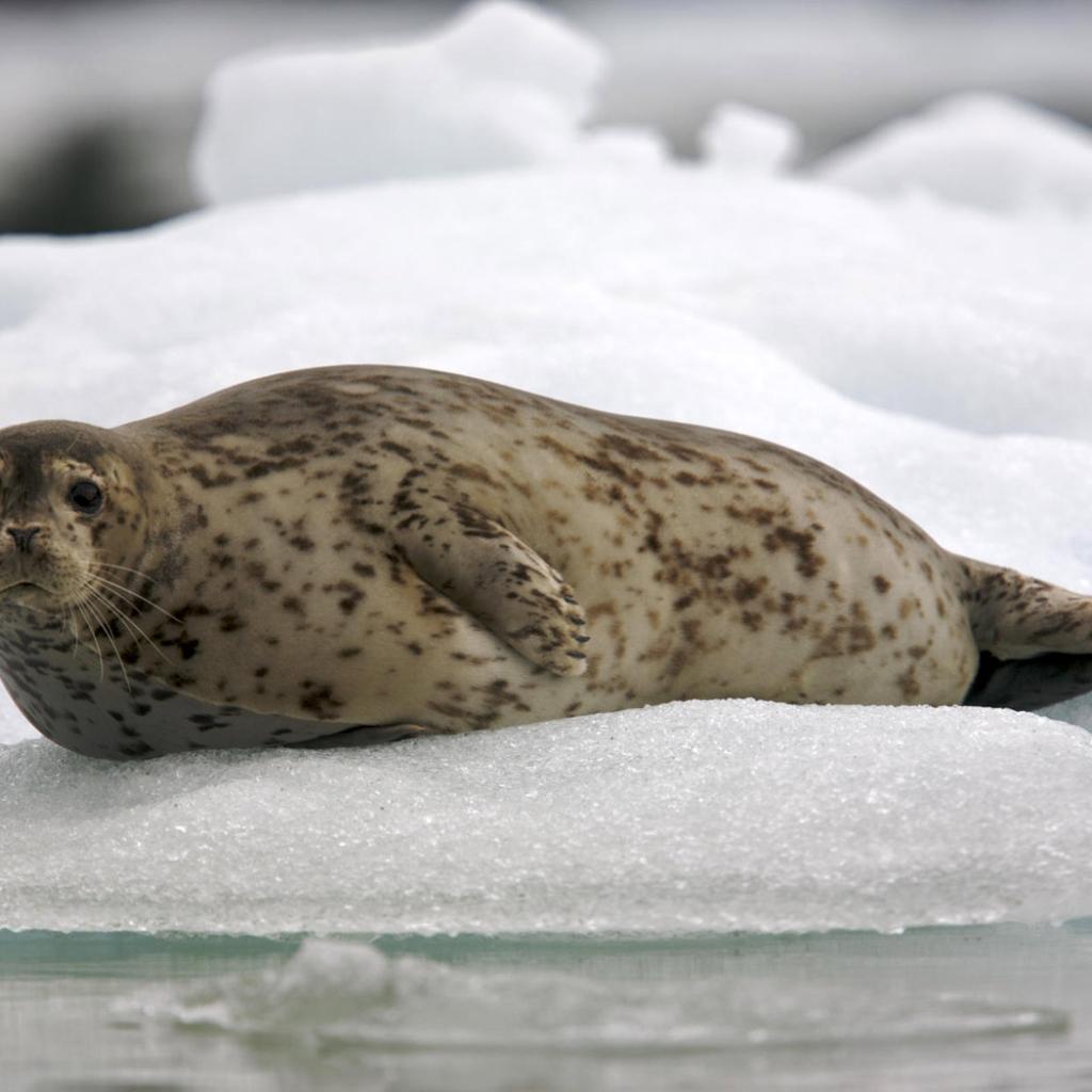 Антур (островной тюлень)