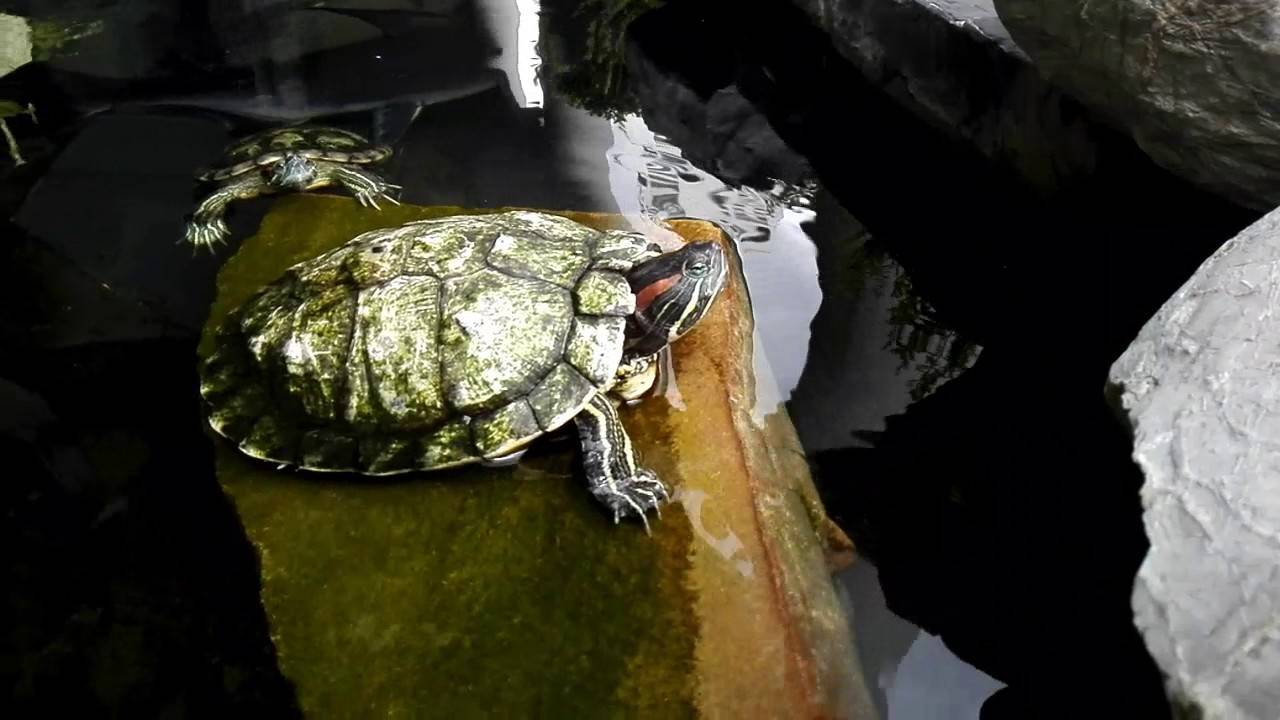 Красноухая черепаха в домашних условиях