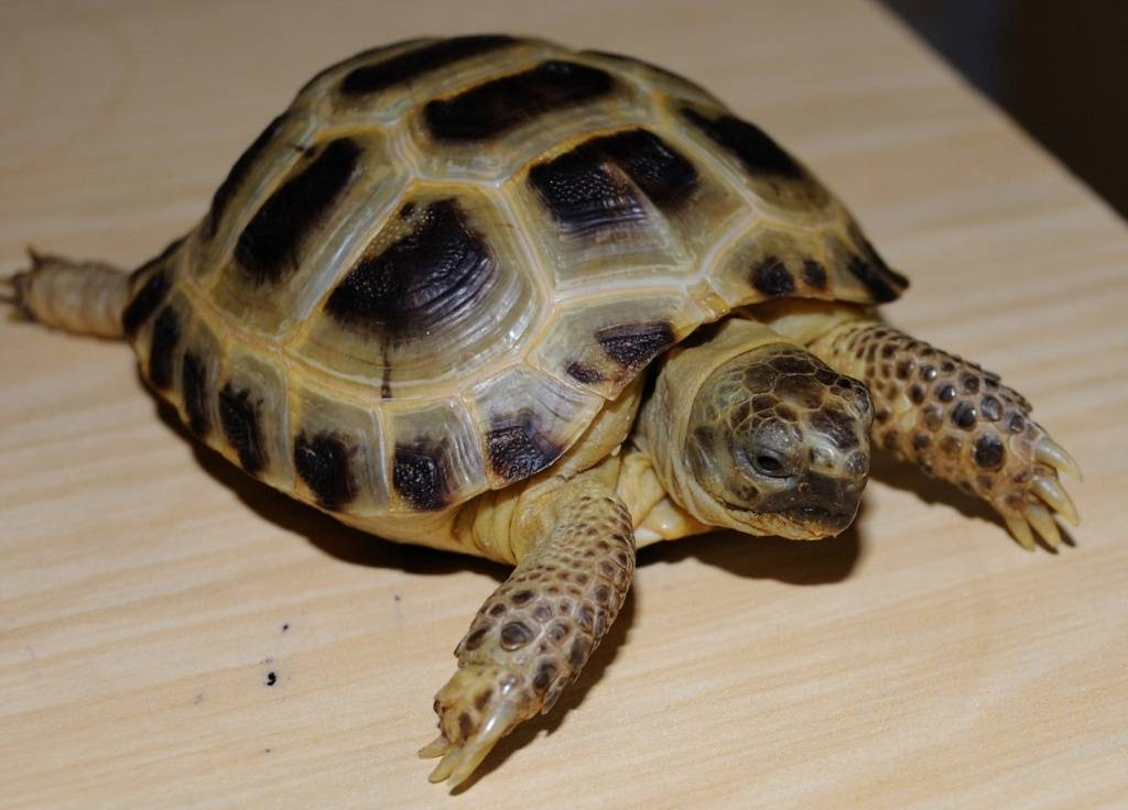 все о сухопутных черепахах