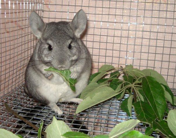 Мандарины и другие цитрусовые: давать ли шиншиллам?