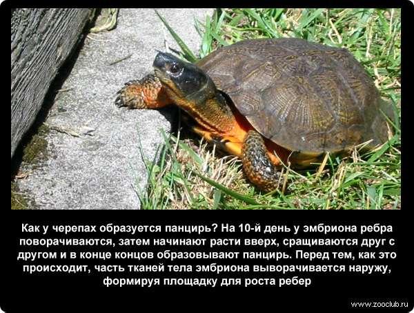 Мифы, ошибки и заблуждения о черепахах. строение скелета и панциря черепах к какой группе относится черепаха