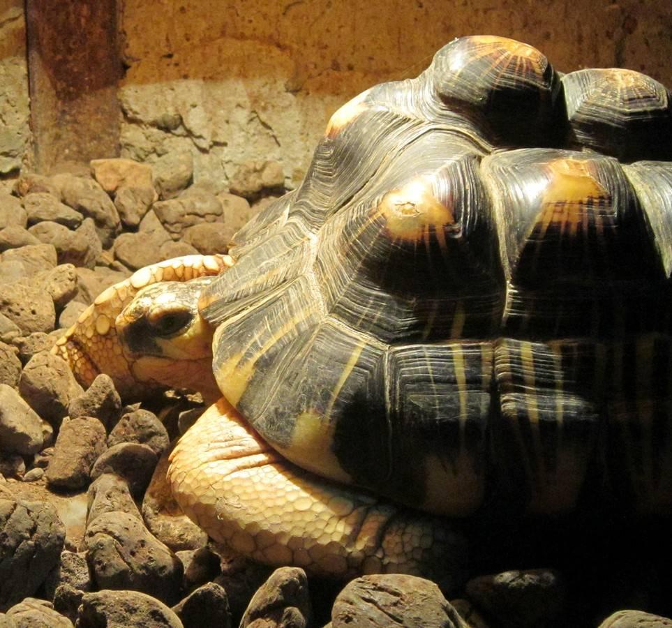 Astrochelys radiata (лучистая черепаха)