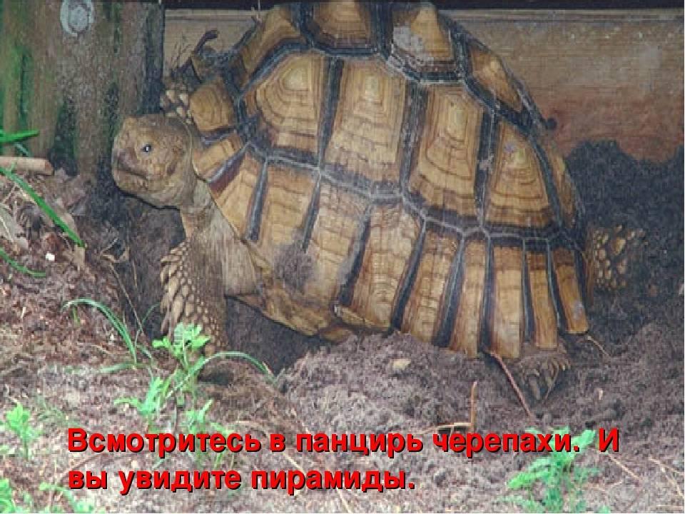 Панцирь вымершей черепахи