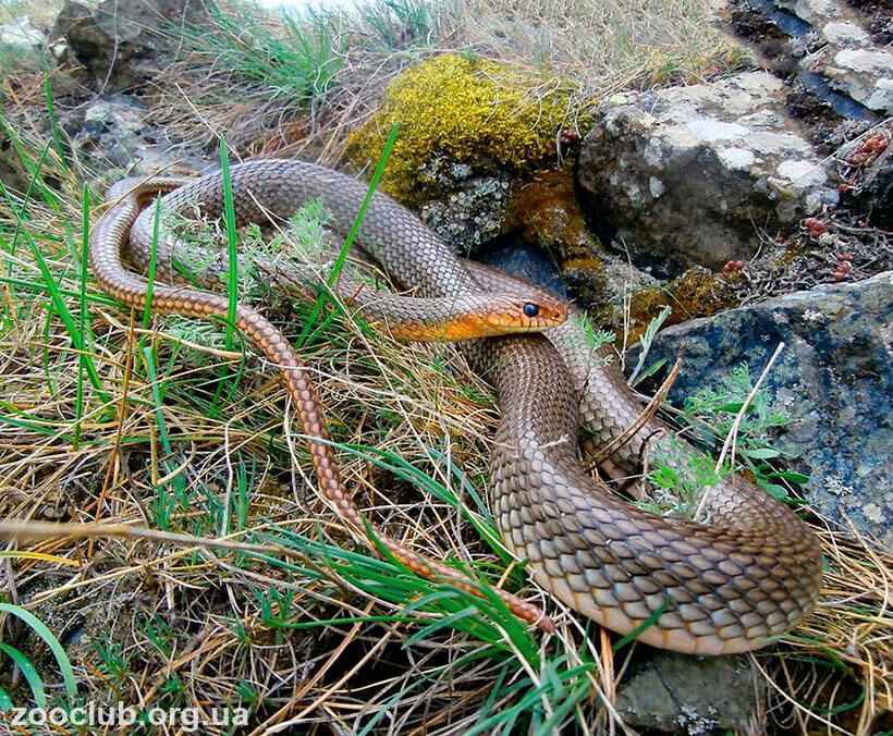Желтобрюхий полоз, опасен ли укус змеи