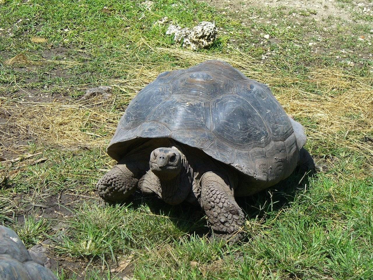Галапагосские черепахи: какие они?