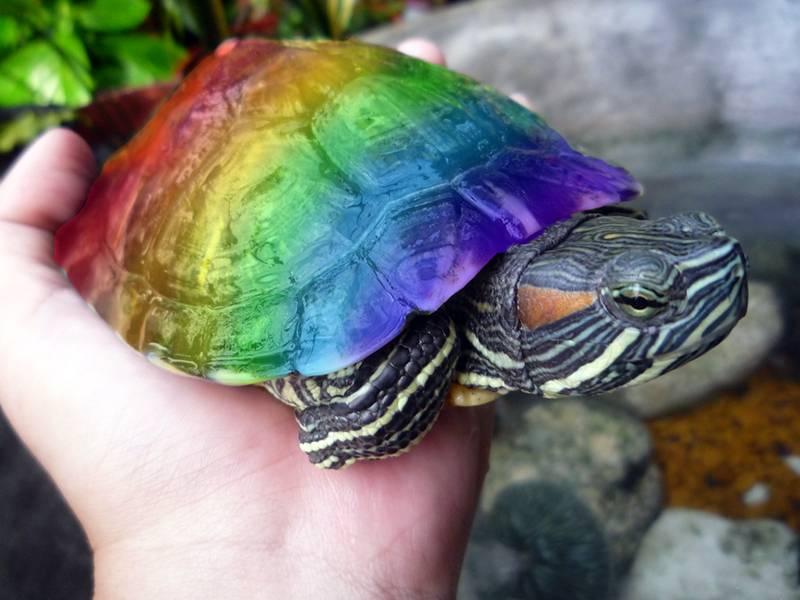 Определение вида домашней черепахи