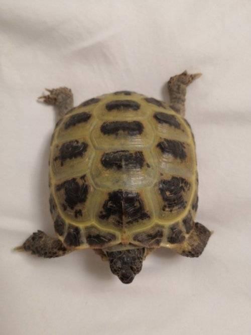 Мягкий панцирь у черепахи - как бороться с недугом?