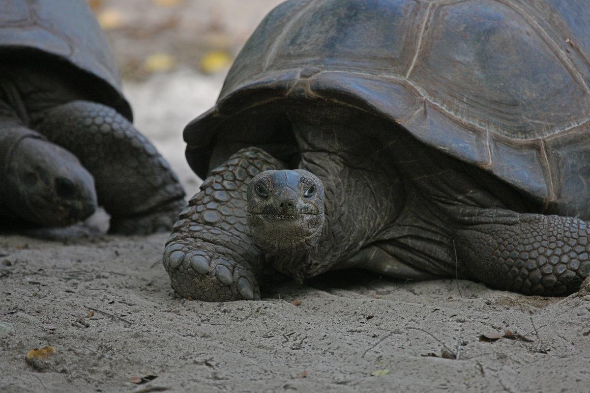 Гигантская черепаха  фото, описание, ареал, питание, враги
