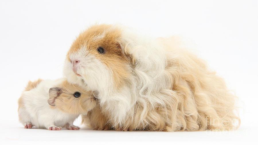 Особенности морских свинок породы альпака