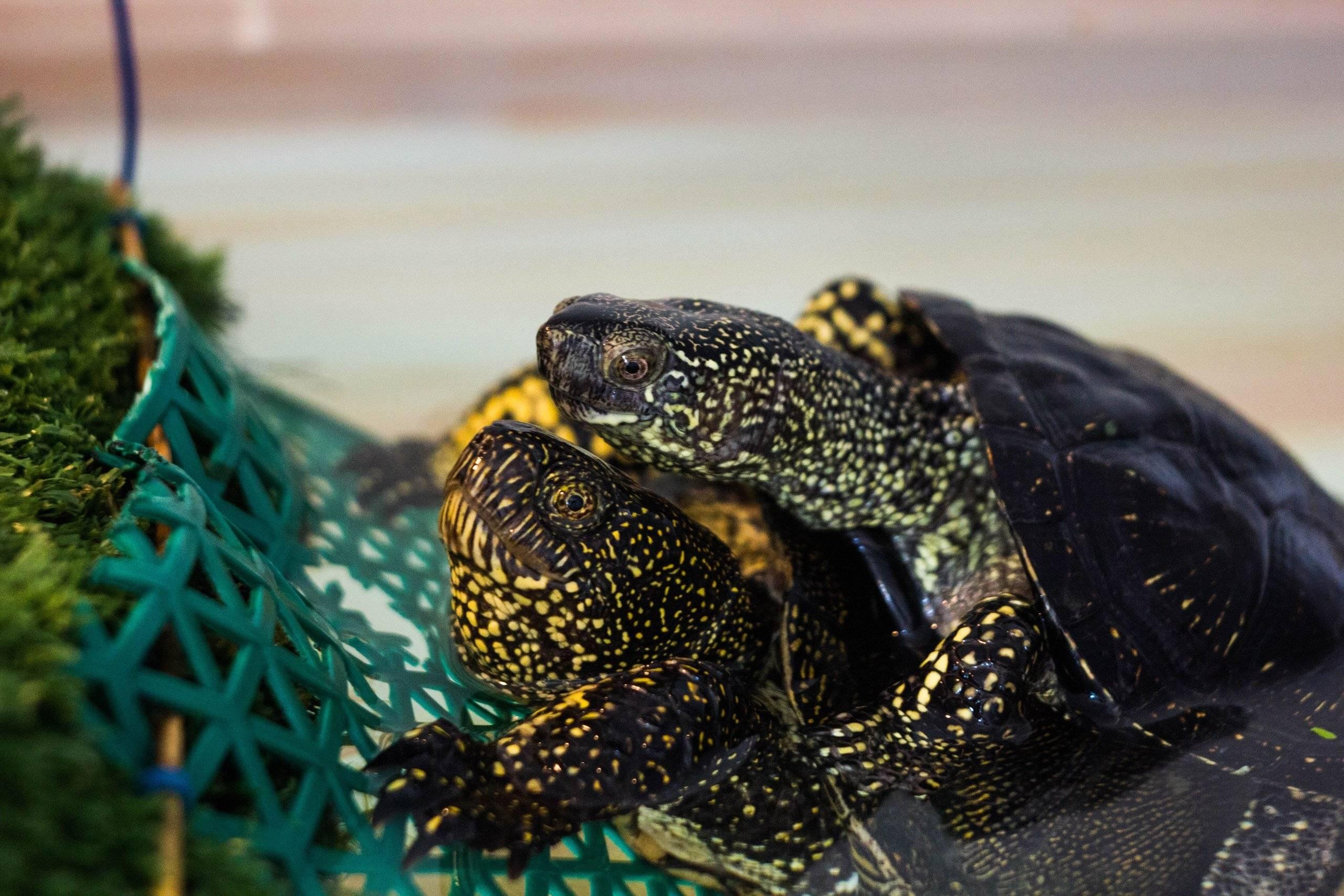 Красноухая черепаха фото, описание, ареал, питание, враги
