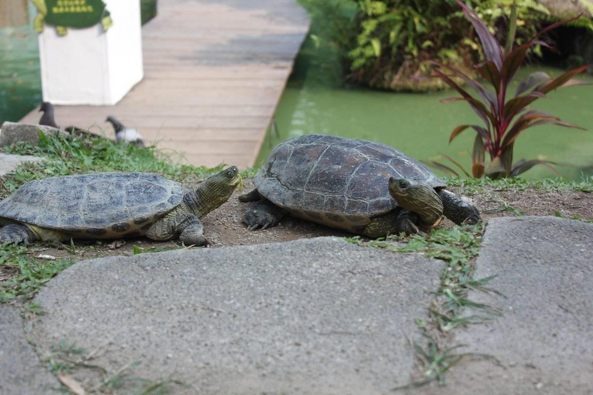 Какой вид черепах можно содержать в домашних условиях