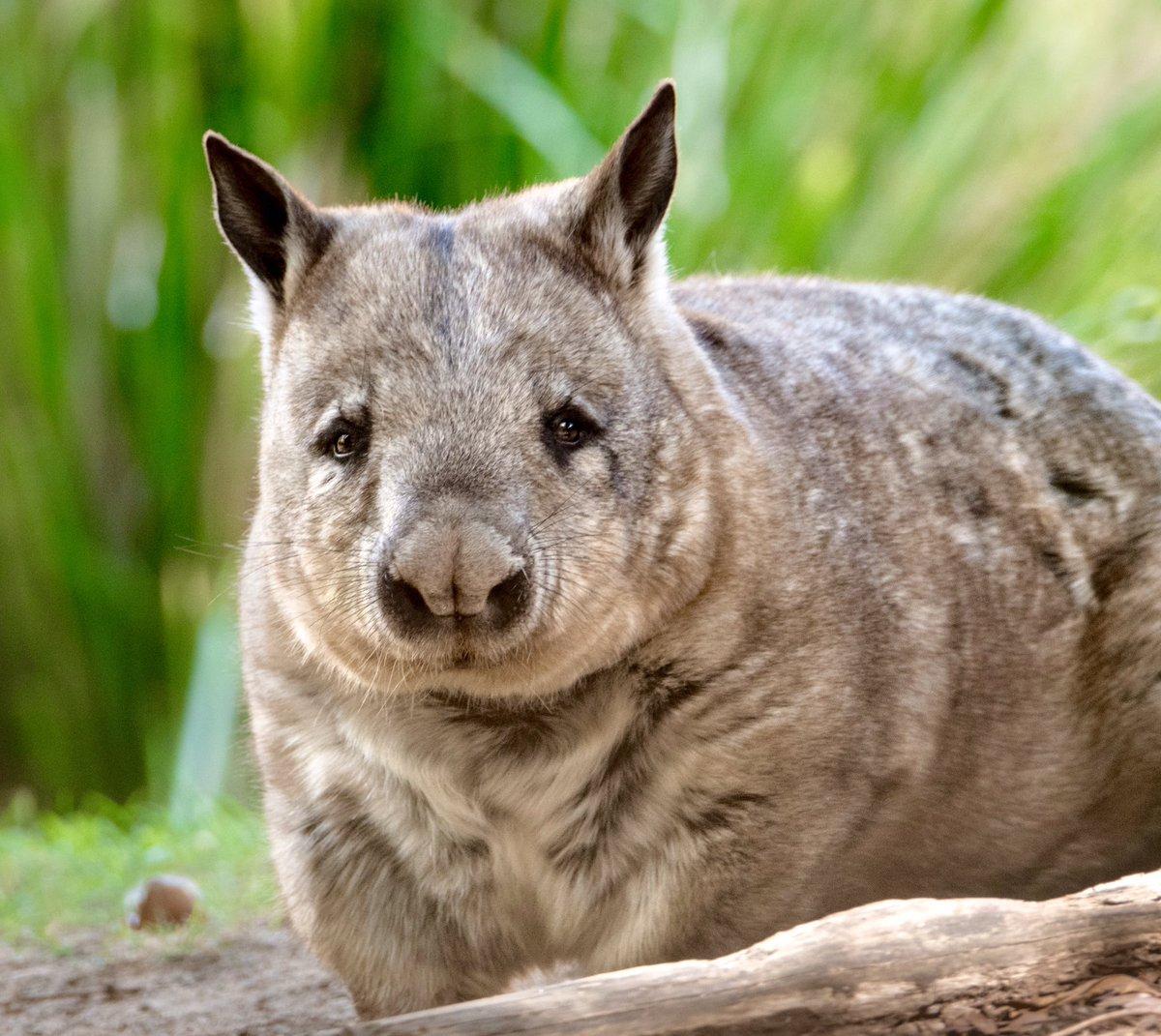 Вомбат: фото, виды, образ жизни животного