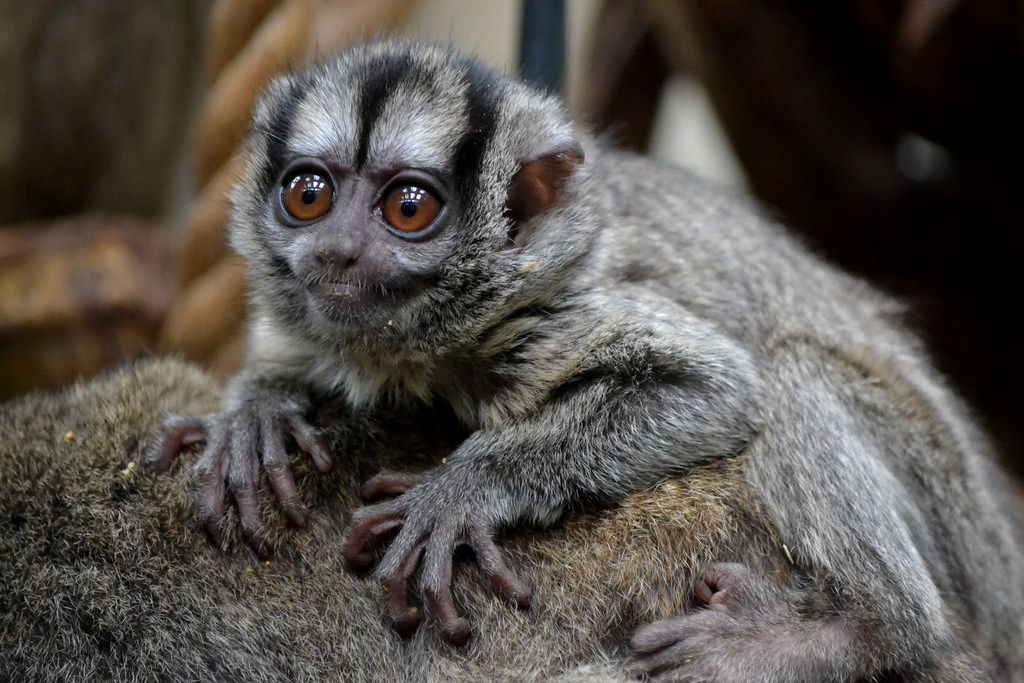Мирикины – ночные обезьяны
