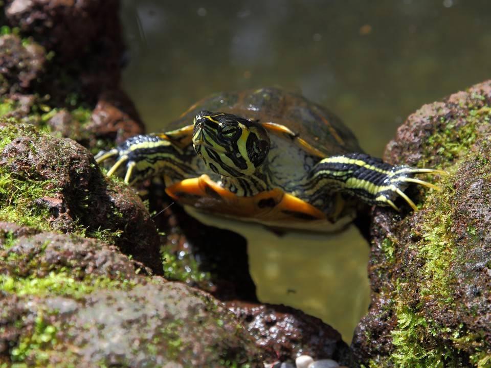 Кожистая черепаха — описание строения тела, образ жизни, среда обитания и особенности разведения (100 фото + видео)
