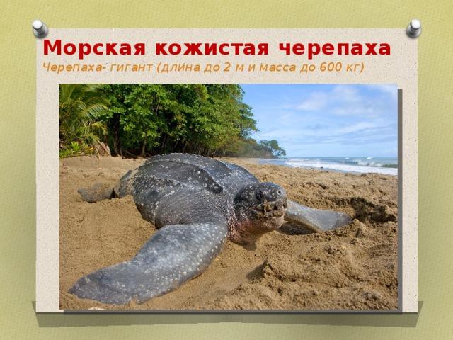 Кожистая черепаха — образ жизни и особенности вида