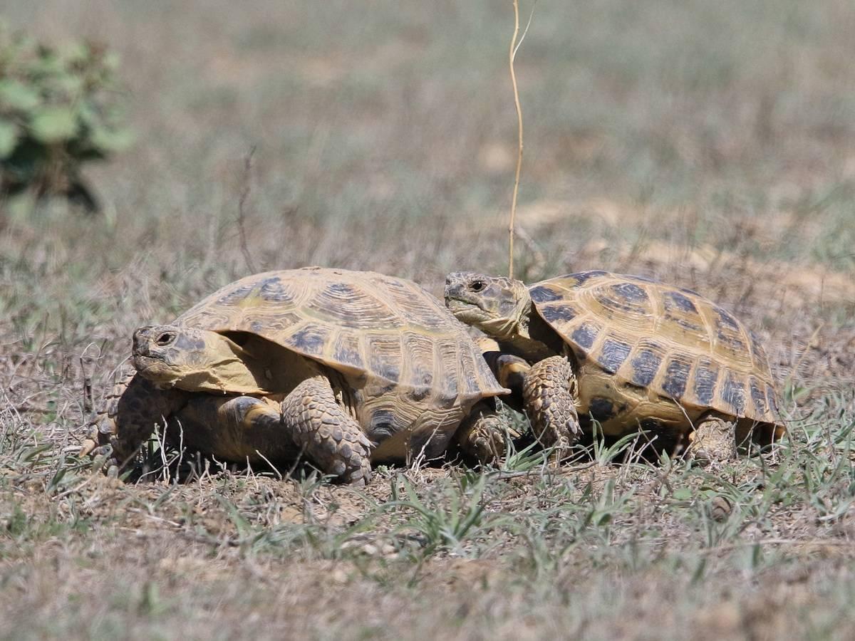 Среднеазиатская черепаха - википедия