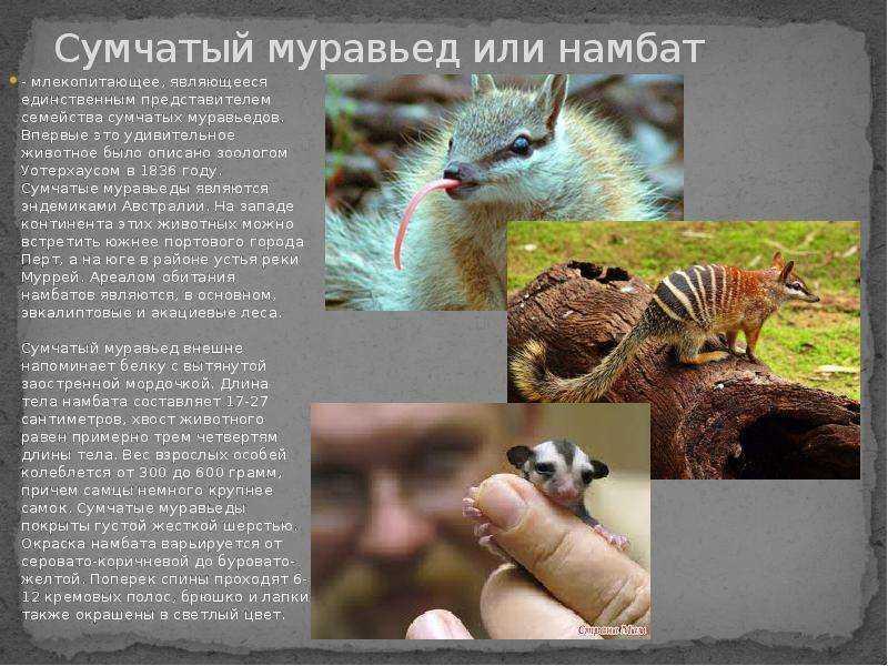 Сумчатый муравьед