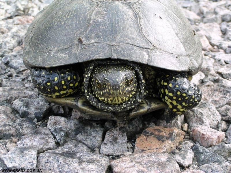 Европейская болотная черепаха с желтыми пятнами на теле