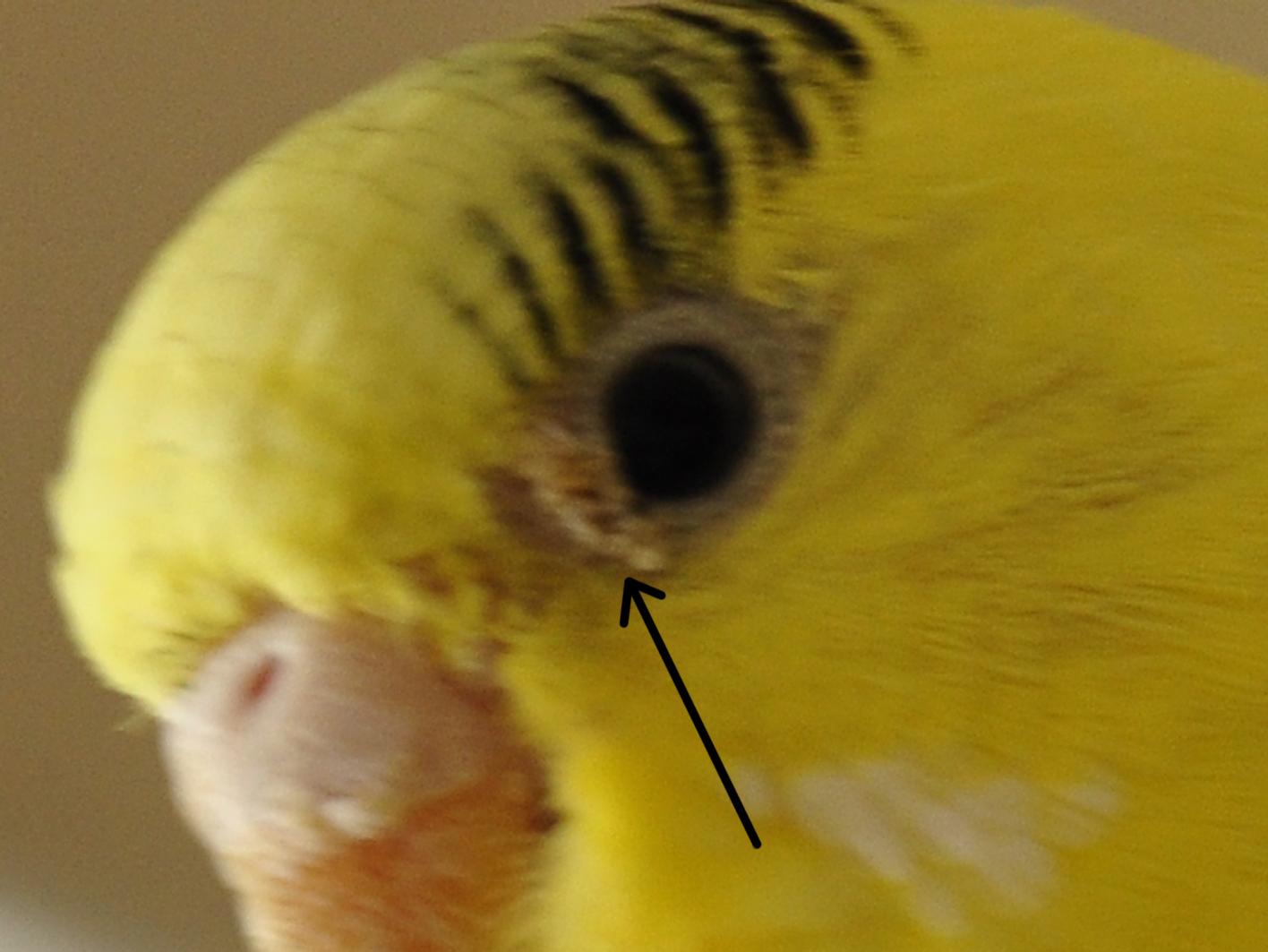 Почему чешется волнистый попугай и что с этим делать