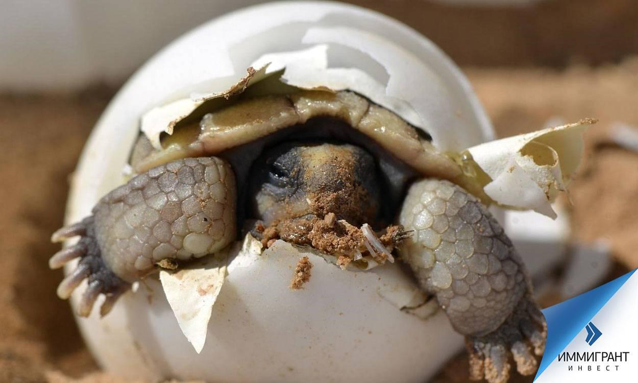 Как определить беременность у черепахи красноухой черепахи