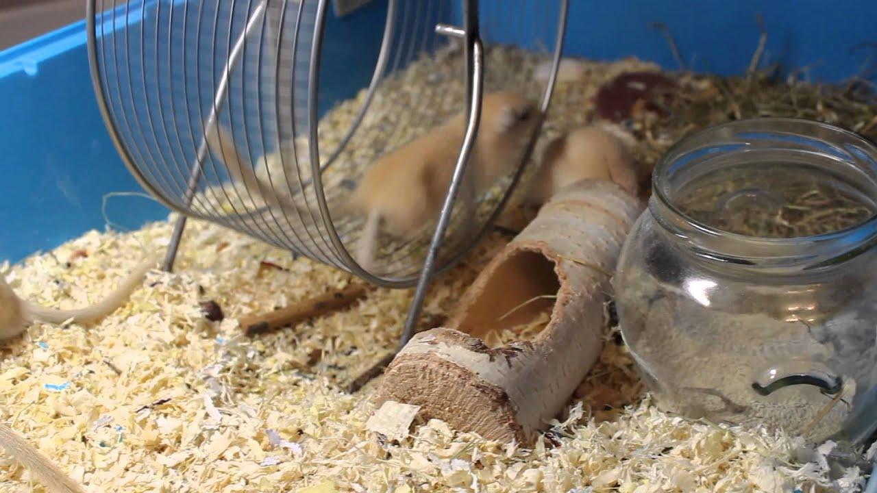 Песчанки в домашних условиях
