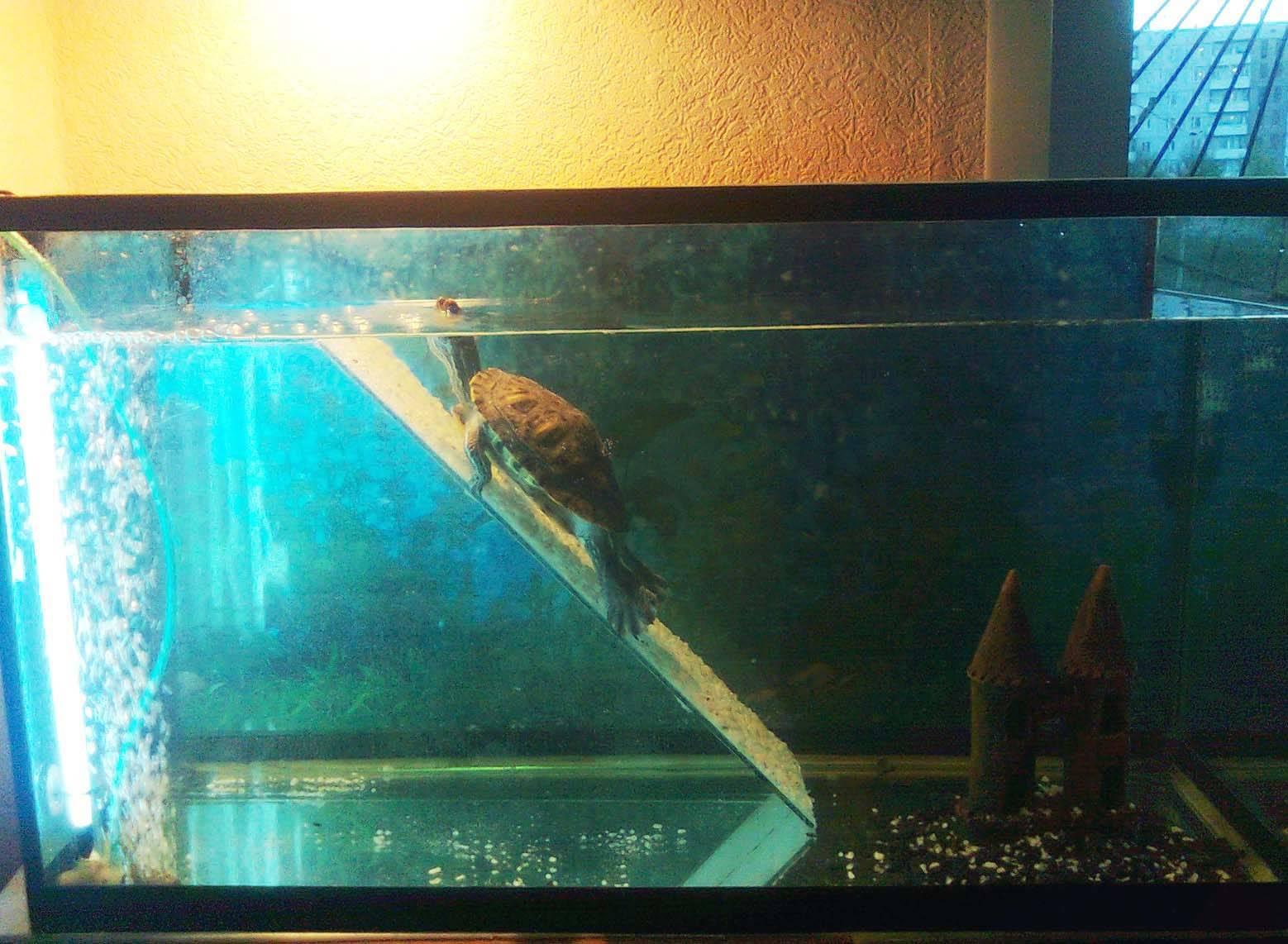 Водная красноухая черепаха: содержание животного, уход за взрослыми и маленькими особями дома