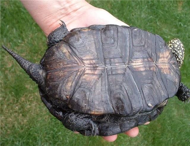 Черепаха европейская болотная википедия
