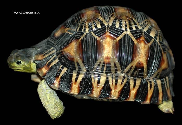 Мадагаскарская клювогрудая черепаха — википедия. что такое мадагаскарская клювогрудая черепаха
