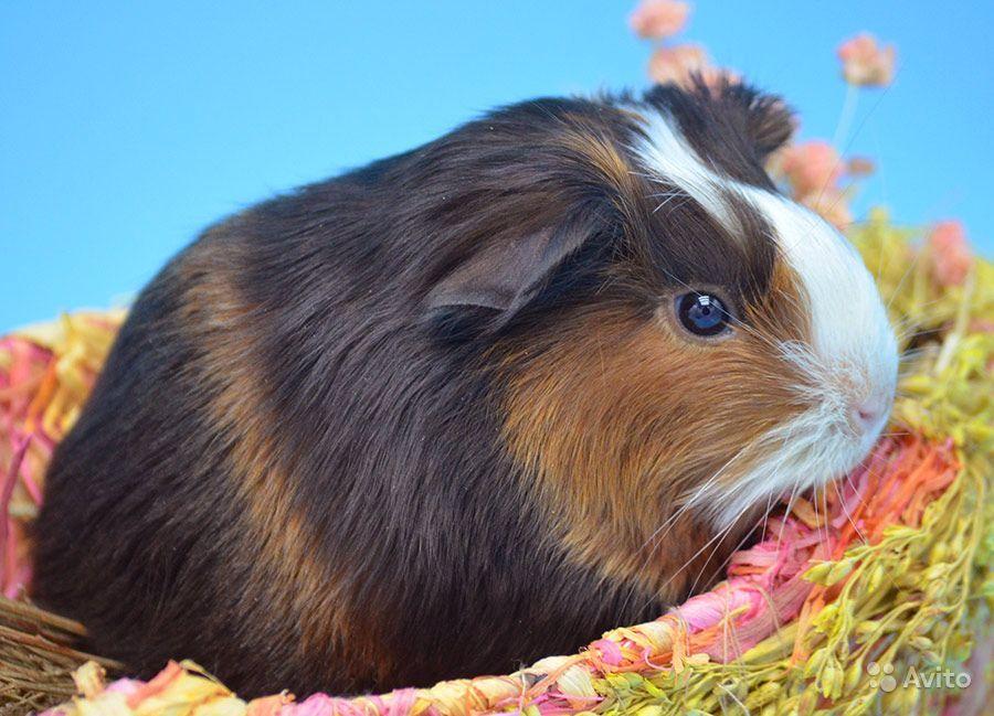 Как назвать морскую свинку девочку: список самых красивых имен