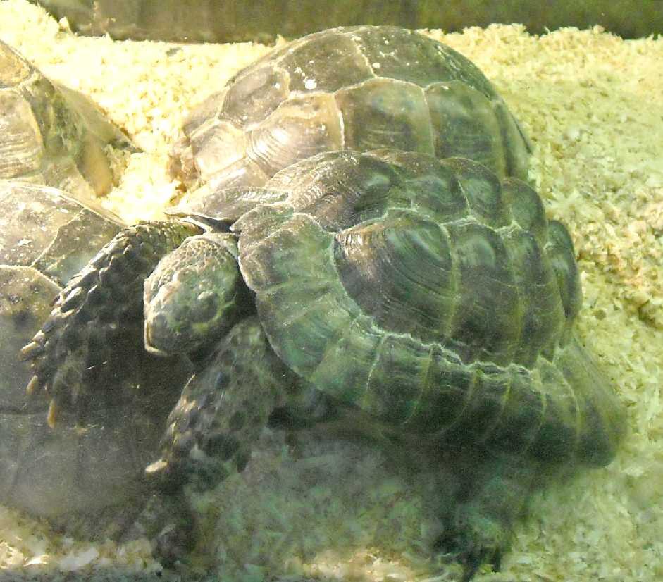 Исследование окрестности поселка мысхако для изучения средиземноморской черепахи никольского – тема научной статьи по биологическим наукам читайте бесплатно текст научно-исследовательской работы в электронной библиотеке киберленинка