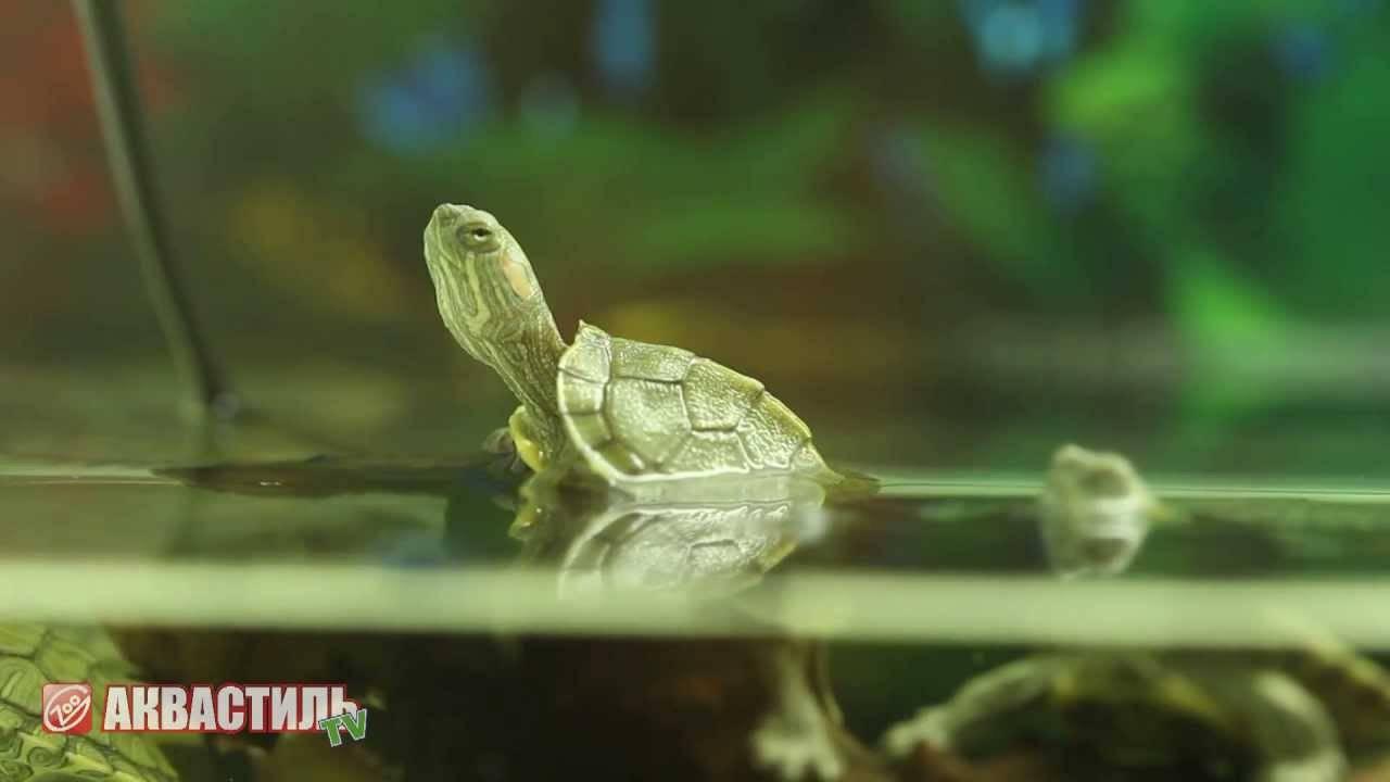 Содержание и уход за европейской болотной черепахой в домашних условиях