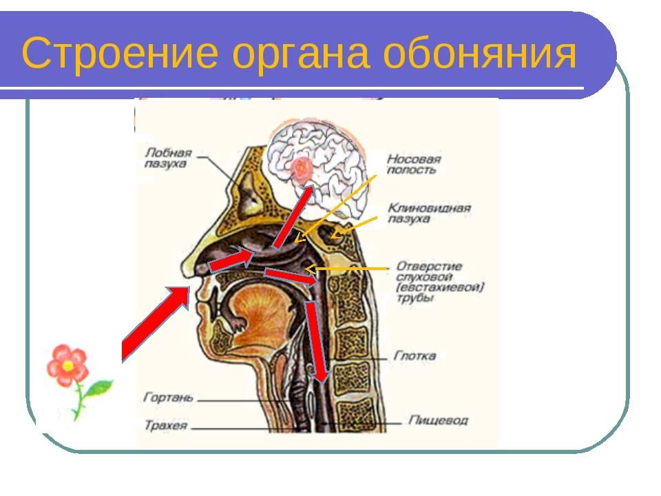 Как дышат водные черепахи. строение респираторной системы черепах, обоняние и осязание