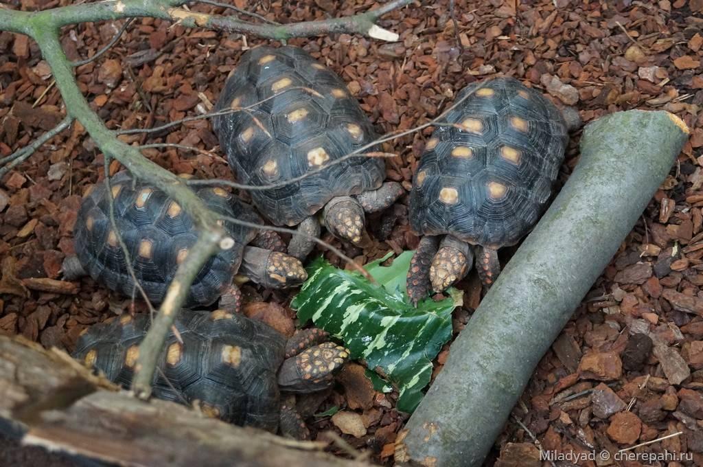 Угольная черепаха википедия