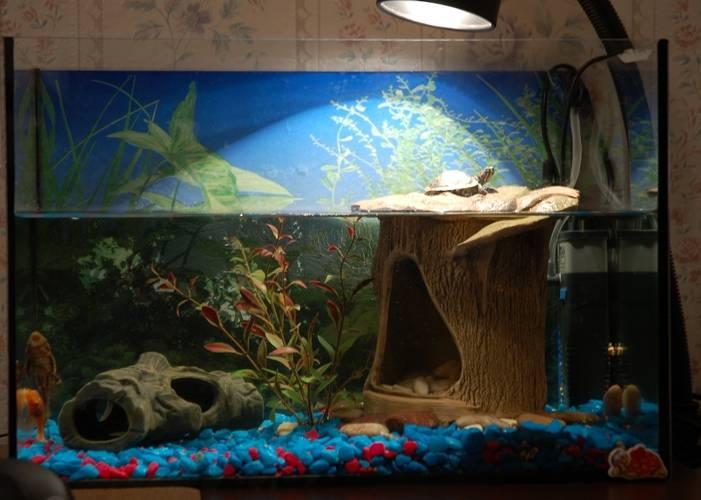 Красноухая черепаха в домашних условиях: содержание, уход, кормление, фото-видео обзор
