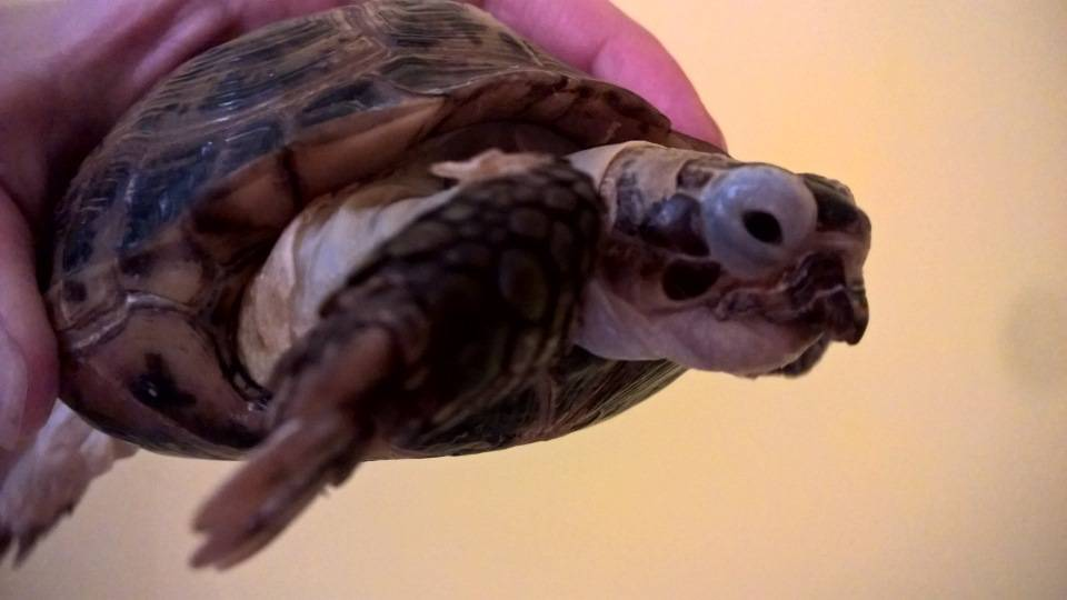 Как подрезать клюв черепахе