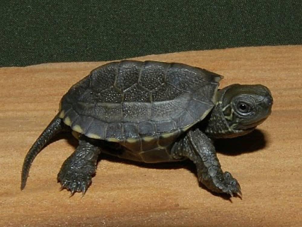 Китайская черепаха водоема • ru.knowledgr.com