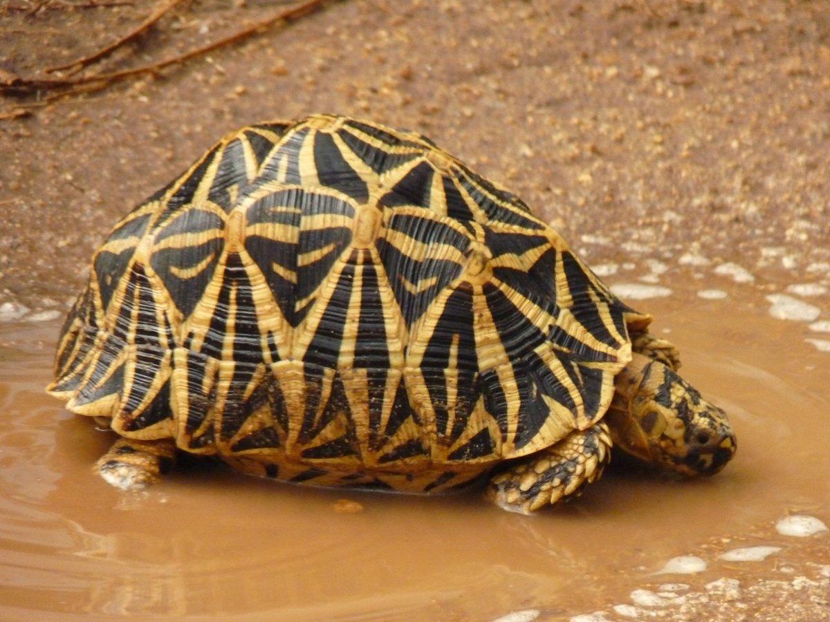 Звездчатая черепаха: содержание и уход