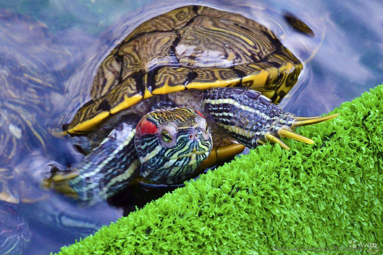 Как перевозить красноухую черепаху зимой