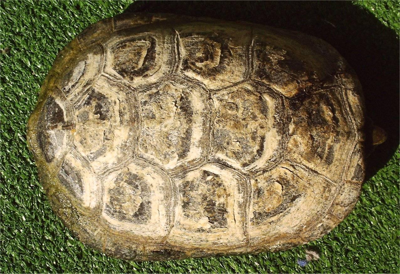 Болотная черепаха википедия