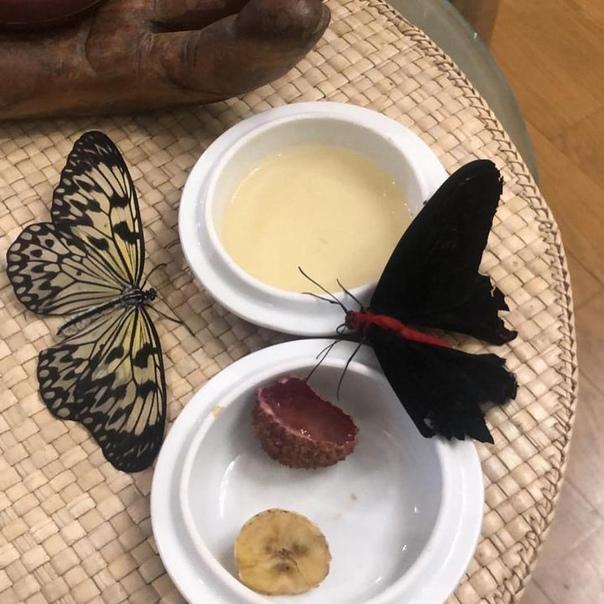 Чем кормить бабочку в домашних условиях