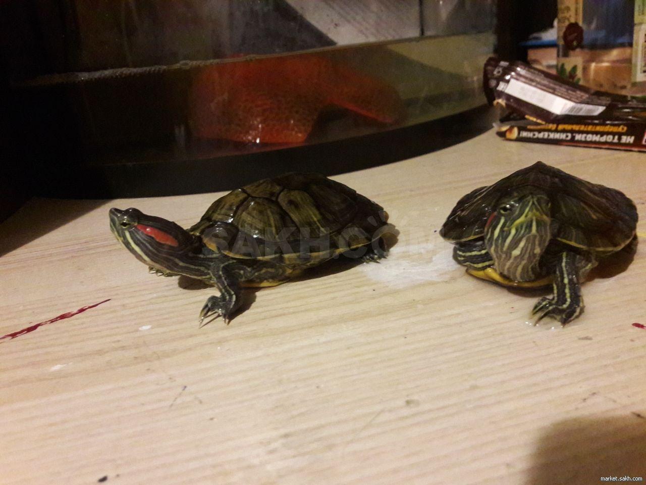 Содержание красноухих черепах: не допускайте ошибок!