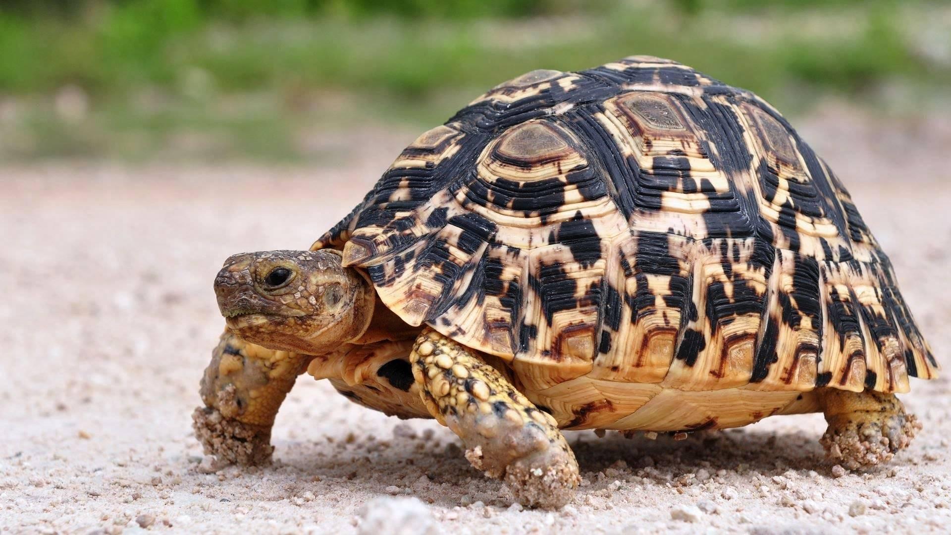 Раздвоенный язык илистой черепахи