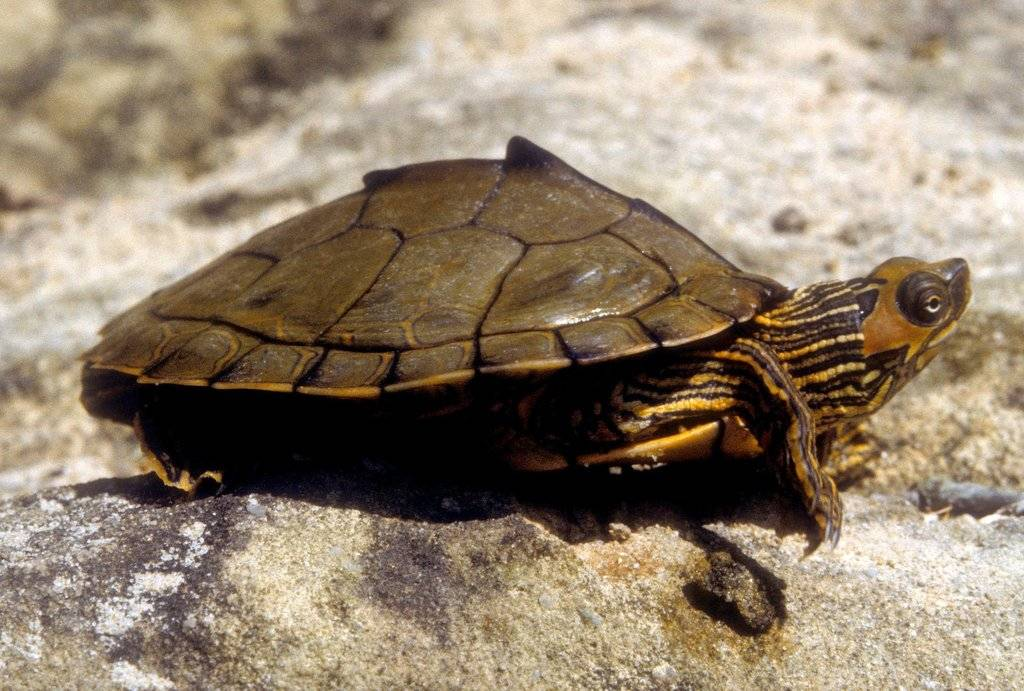 Самые красивые и необычные виды домашних черепах. news4auto: самая большая черепаха в мире: фото как называется самая красивая черепаха в мире