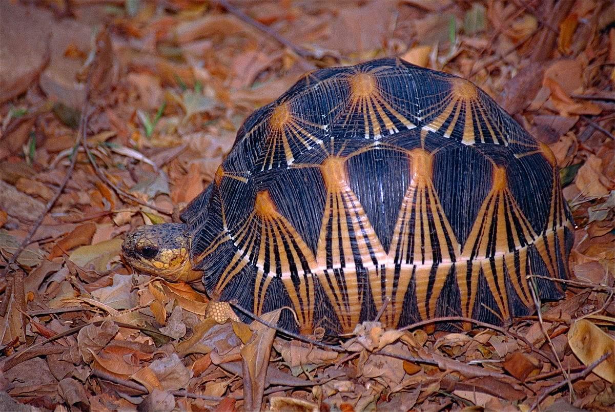Лучистая черепаха — википедия переиздание // wiki 2