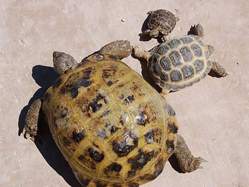 Некоторые аспекты успешного размножения среднеазиатской черепахи agrionemys (testudo) horsfieldii (gray, 1844) - pdf free download
