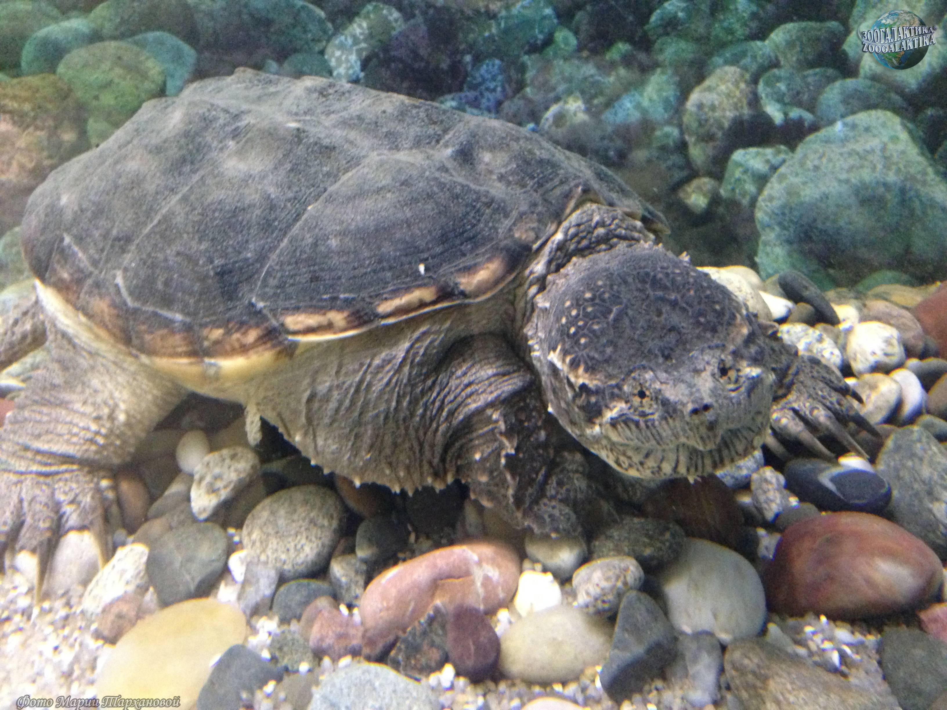 Каймановая черепаха или кусающаяся