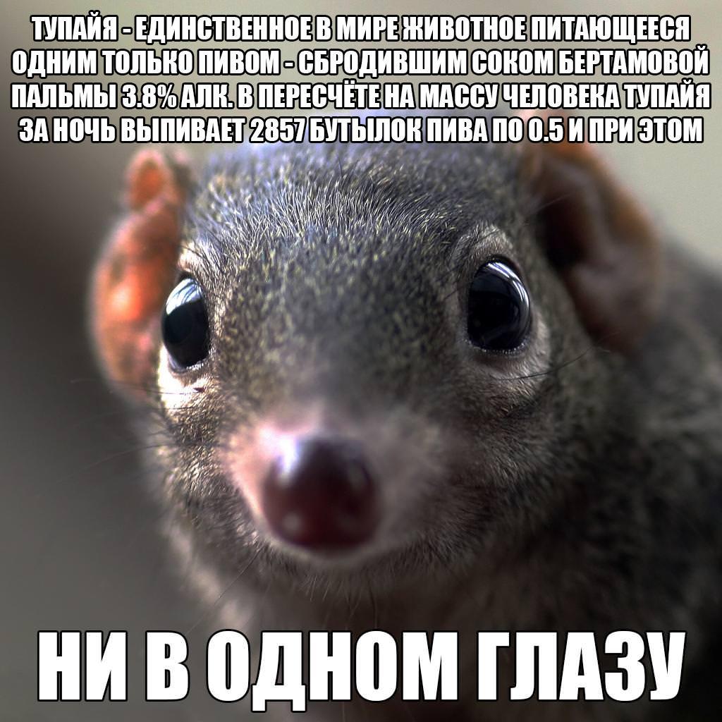 Тупайя