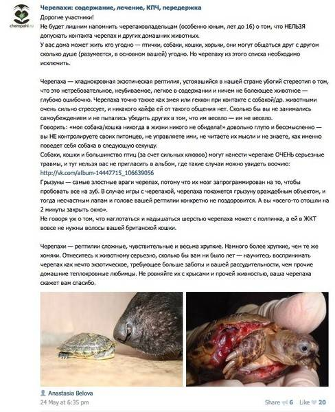 Chelydra serpentina (каймановая черепаха) - черепахи.ру - все о черепахах и для черепах